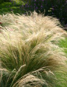 GR Stipa tenuissima (Ponytails Mexican Feather Grass)