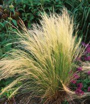 GR Stipa gigantea (Giant Oat Grass; Giant Mexican Feather Grass)