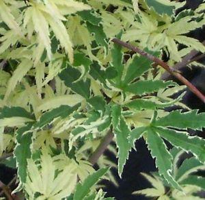 Acer Palmatum Roseo Marginatum Klupengers Nursery