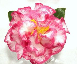 Camellia Japonica (Mrs. Betty Sheffield Camellia)