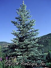 Picea pungens (Fat Albert Blue Colorado Spruce)