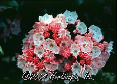 Kalmia latifolia (Little Linda Mountain Laurel)