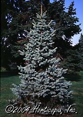 Picea pungens (Kosteri Colorado Blue Spruce)