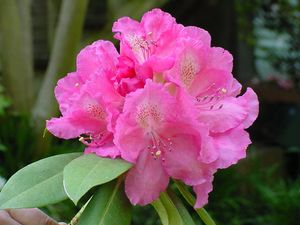 Rhododendron (Antwoon Van Welie Rhododendron)