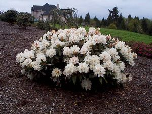 Rhododendron (Cunningham's Blush Rhododendron)