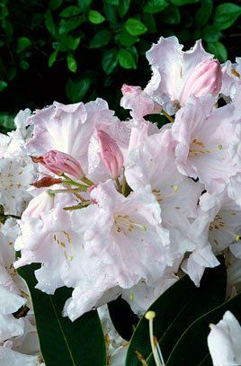 Rhododendron (Loder's King George Rhododendron)