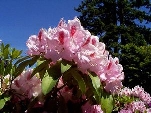Rhododendron (Mrs. Furnival Rhododendron)