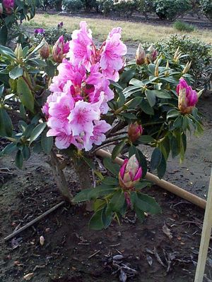 Rhododendron (Pink Pearl Rhododendron)