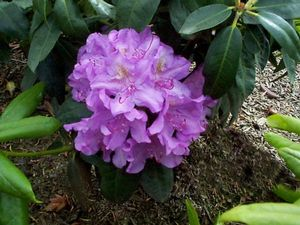 Rhododendron (Roseum Pink Rhododendron)