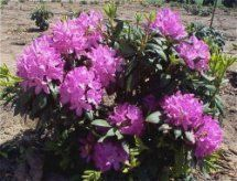 Rhododendron (Roseum Two Rhododendron)