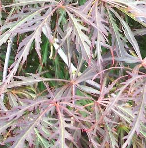 Acer palmatum dissectum (Red Dragon Japanese Maple)