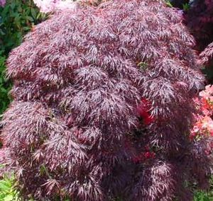 Acer palmatum (Red Select Japanese Maple)