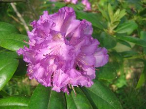 Rhododendron (Everestianum Rhododendron)