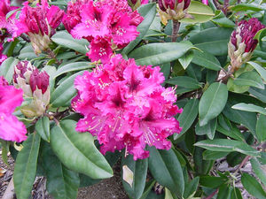 Rhododendron (Marie Fortie Rhododendron)