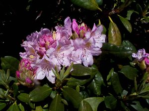 Rhododendron (Parsons Gloriosum Rhododendron)