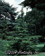 Cedrus Libani Brevifolia Cedar Of Lebanon
