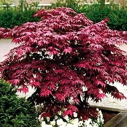 Acer palmatum (Emperor One Japanese Mpale)
