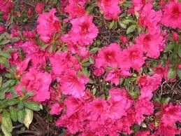 Azalea (Red Wing (Indian) Azalea)
