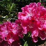 Rhododendron (Besse Howells Rhododendron)