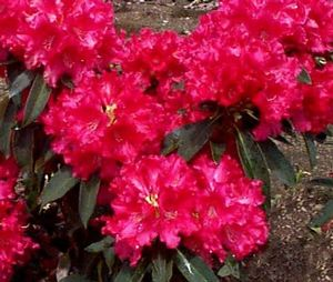 Rhododendron (Jean Marie Rhododendron)
