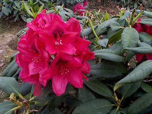 Rhododendron (Lord Roberts Rhododendron)