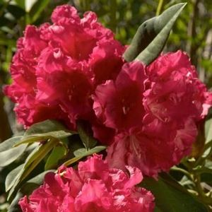 Rhododendron (Unknown Warrior Rhododendron)