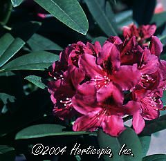 Rhododendron (Wojnar's Purple Rhododendron)