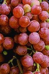 Grape Red Suffolk Vitis labrusca 'Suffolk' (Red Suffolk Table Grape)