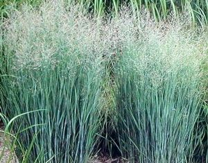 GR Panicum virgatum (Heavy Metal Switch Grass)