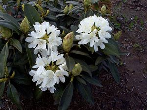 Rhododendron (Chionoides Rhododendron)