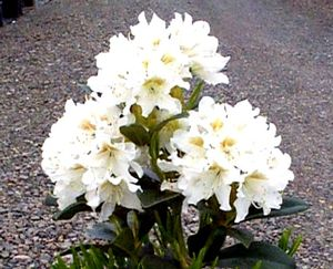 Rhododendron (Cunningham's White Rhododendron)