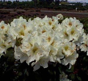 Rhododendron (Mrs. Betty Robertson Rhododendron)