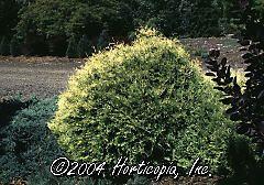 Rheingold+arborvitae+shrub