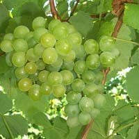 Grape Golden Muscat Vitis (Muscat Golden Grape)