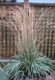 GR Calamagrostis acutiflora (Avalanche Feather Reed Grass)