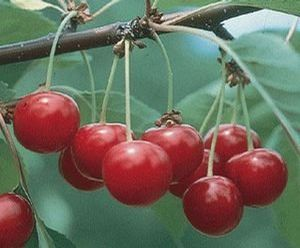 Fruit Prunus cerasus (Semi-Dwarf North Star Sour Cherry)