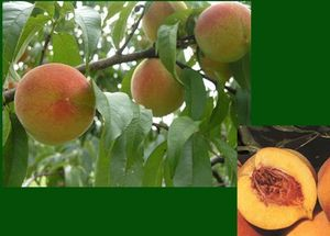 Fruit Prunus persica (Frost® Peach)