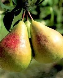 Fruit Pyrus communis (Flemish Beauty Pear)