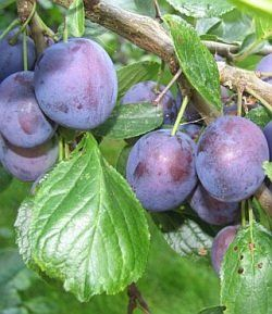Fruit Prunus (Stanley Plum Dwarf Tree)