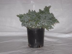 Specials: #1 Juniper (Blue Star Juniper)