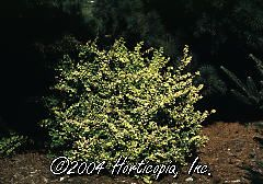 Berberis Thunbergii (Golden Barberry)