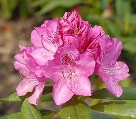Rhododendron ('Ignatious Sargent' Rhododendron)