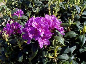 Rhododendron (Lee's Best Purple)