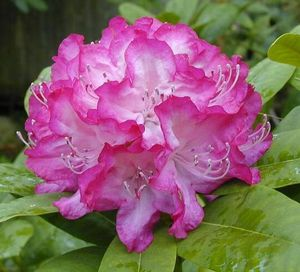Rhododendron ('Princess Mary of Cambridge' Rhododendron)