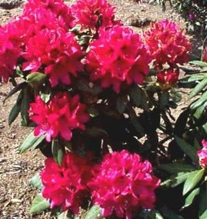 Rhododendron ('The General' Rhododendron)