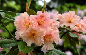 Rhododendron ('Trude Webster' Rhododendron)