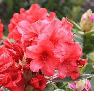 Rhododendron ('Vulcan's Flame' Rhododendron)