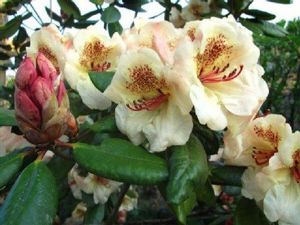 Rhododendron ('Viscy' Rhododendron)