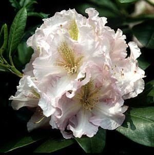 Rhododendron (Janet Blair Rhododendron)
