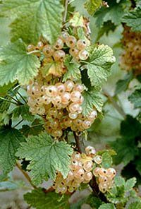 BR Ribes White Imp Sativa (White Imperial Currant)